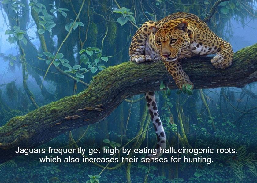 Jaguars get drunk