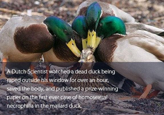 Ducks are assholes